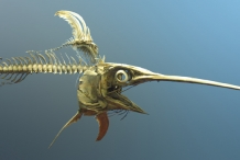 Swordfish-skeleton