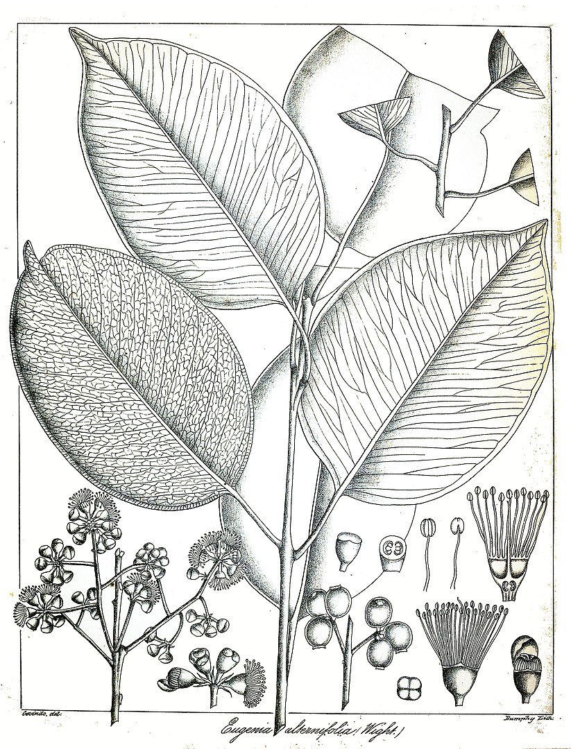 Illustration-of-Syzygium-alternifolium