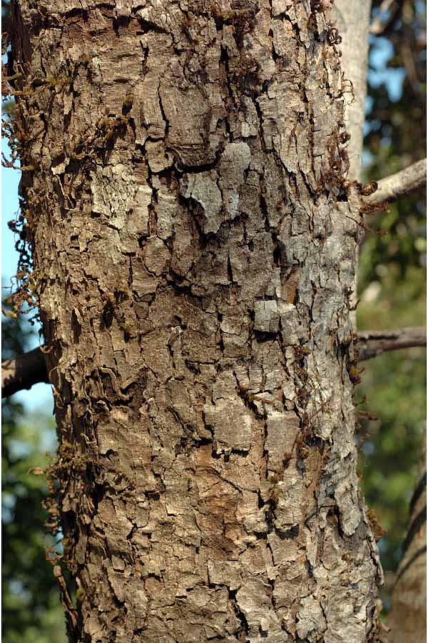 Syzygium-alternifolium-bark