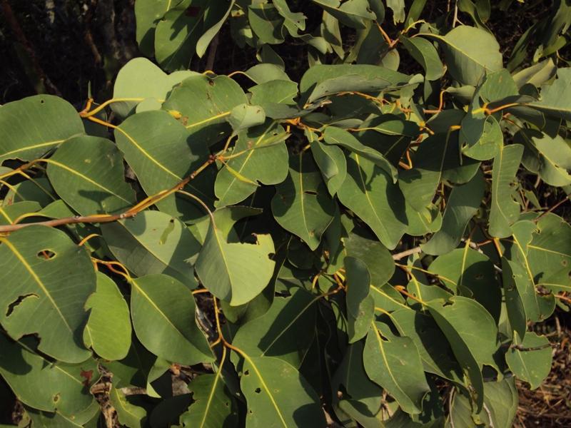 Syzygium-alternifolium-leaves