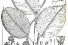 Illustration-of-Syzygium-alternifolium