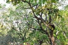 Syzygium-alternifolium-tree