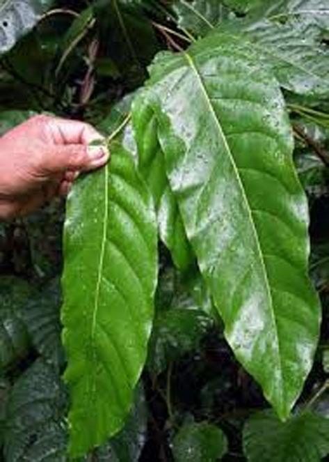 Leaves-of-Tahitian-chestnut