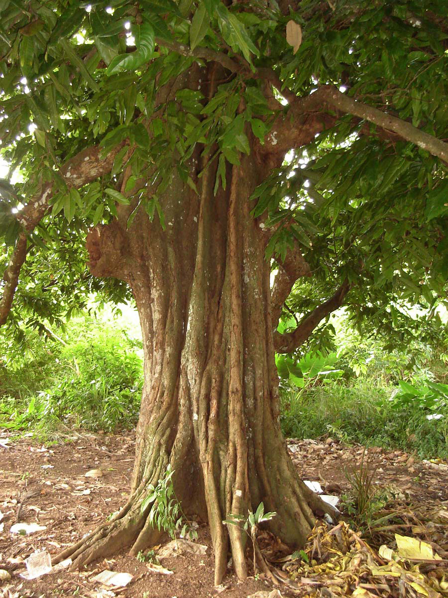Mature-tree-of-Tahitian-chestnut