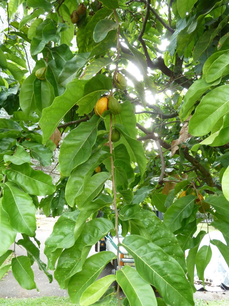 Tahitian-chestnut-fruits-on-the-tree