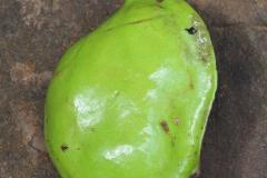 Immature-fruits-of-Tahitian-chestnut
