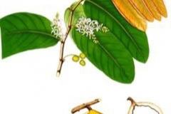 Plant-Illustration-of-Tahitian-chestnut