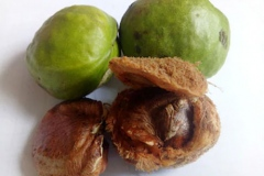 Tahitian-chestnut
