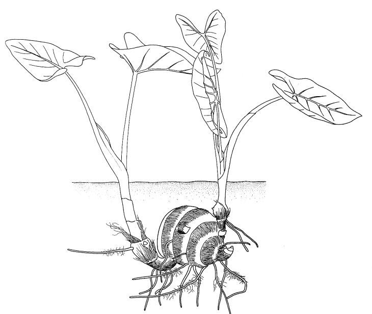 Sketch-of-Tahitian-Taro