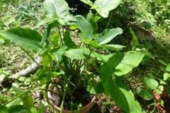 Tahitian-Taro-Plant