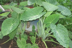 Tahitian-Taro-plant-growing-wild