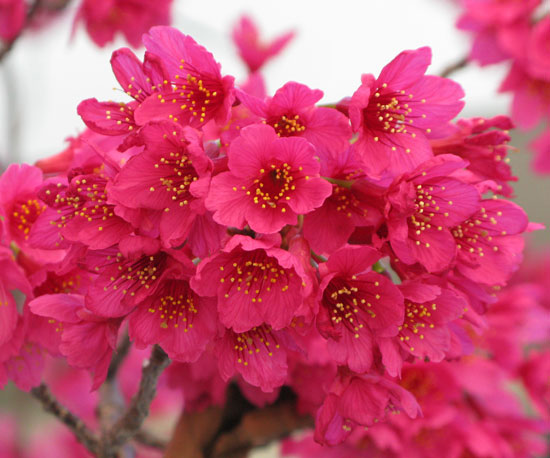 Closer-view-of-Flowers-of-Taiwan-Cherry