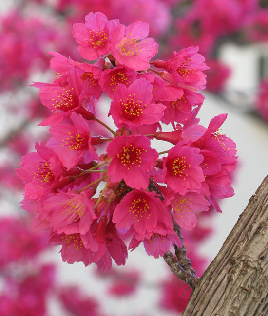 Flowers-of-Taiwan-Cherry