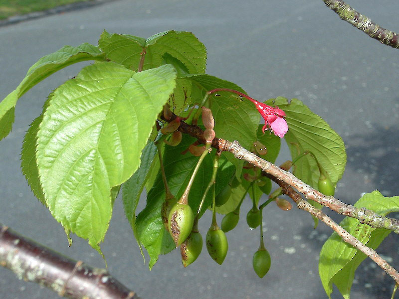 Immature-fruits-of-Taiwan-Cherry