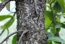 Bark-of-Taiwan-Cherry-tree