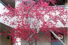 Flowering-Taiwan-Cherry-tree