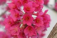 Flowers-of-Taiwan-Cherry