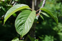 Leaves-of-Taiwan-Cherry-plant