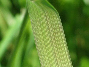 Leaf-blade-of-Tall-Fescue