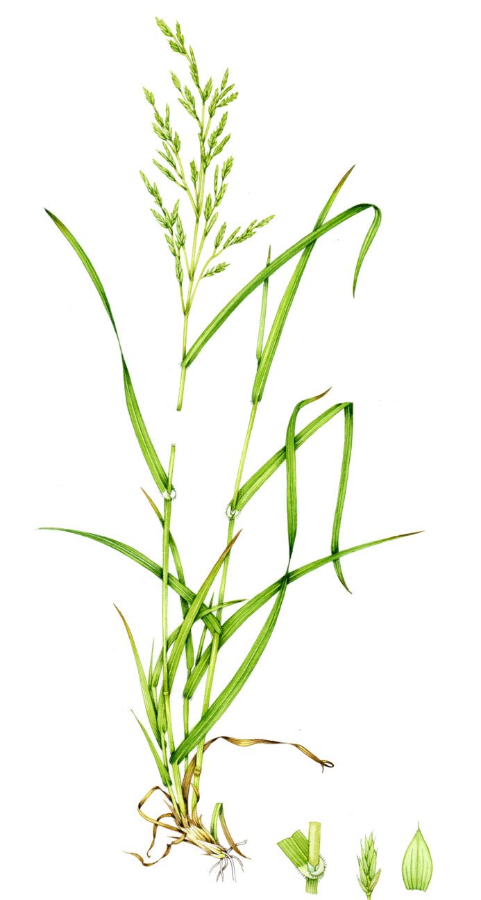 Plant-Illustration-of-Tall-Fescue