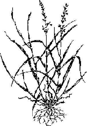 Sketch-of-Tall-fescue-plant
