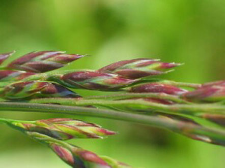 Spikelets-of-tall-fescue