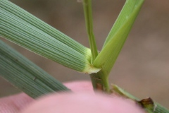 Leaves-of-Tall-fescue-plant