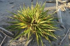 Small-Tall-fescue-plant