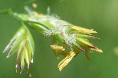 Tall-Fescue-florets-with-exerted-stigmas-and-anthers
