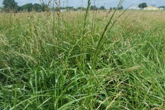 Tall-fescue-plant-growing-wild