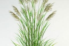 Tall-fescue-plant