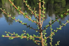 Opening-leaves-of-Tamarack