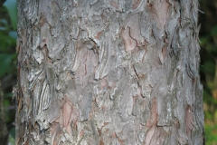 Tamarack-bark
