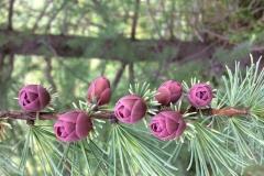 Tamarack-flowers