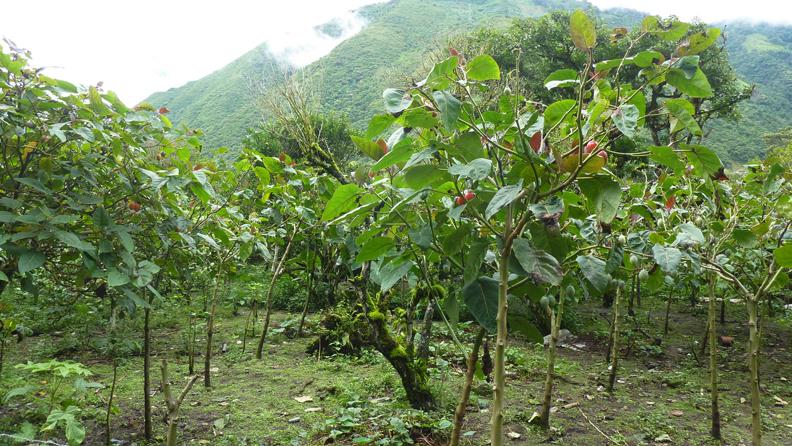 Tamarillo-farm