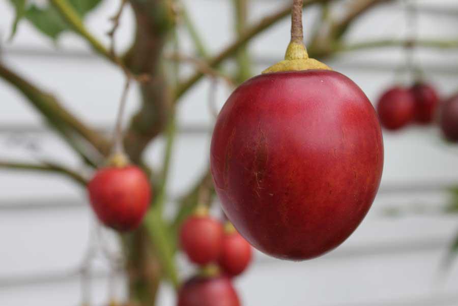Tamarillo-fruit