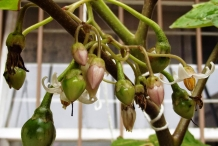 Flower-bud-of-Tamarillo