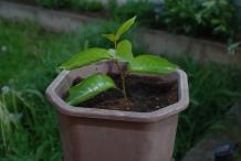 Tamarillo-plant