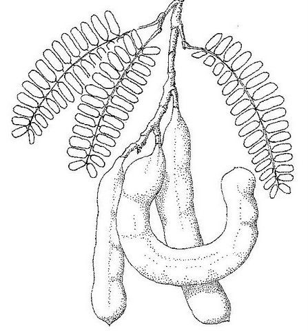 Drawing-of-Tamarind