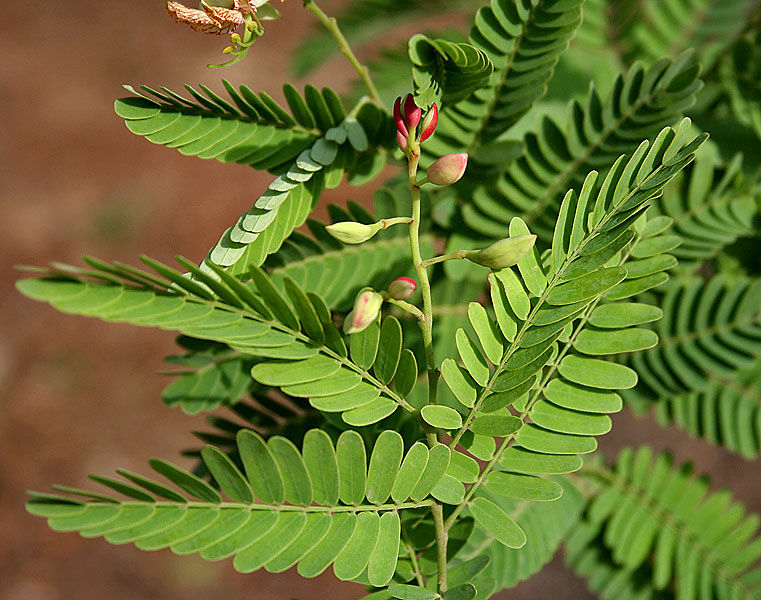 Leaves-of-Tamarind