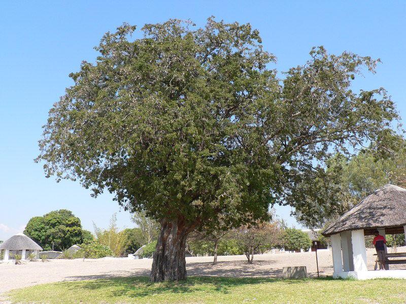 Tamarind Tree In English