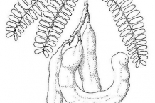 Drawing-of-Tamarind