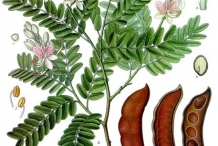 Illustration-of-Tamarind
