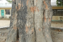 Tamarind-bark
