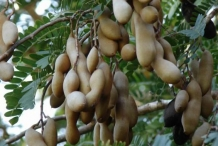 Tamarind-fruit