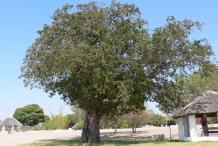 Tamarind-tree