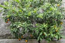 Tangerine-tree
