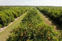 Tangerine-farm