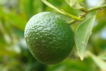 Unripe-fruit-of-Tangerine