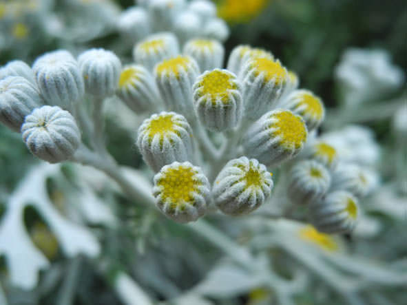 Tansy-Flower-Bud
